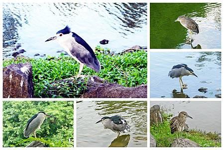 大安森林公園賞鳥趣. (27)