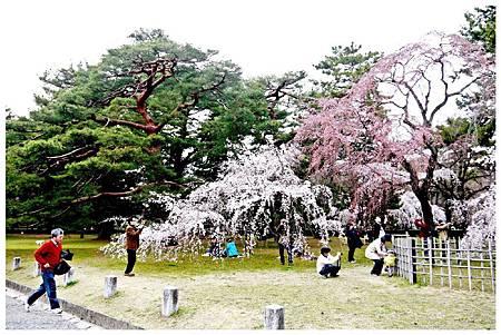 P1290610 京都御苑櫻花 (2).jpg