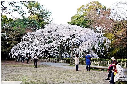 P1290610 京都御苑櫻花 (5).jpg