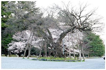 P1290610 京都御苑櫻花 (7).jpg