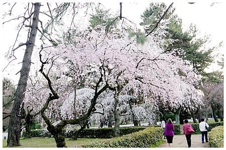 P1290610 京都御苑櫻花 (8).jpg