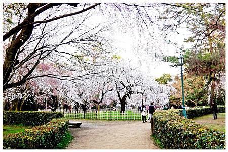 P1290610 京都御苑櫻花 (9).jpg