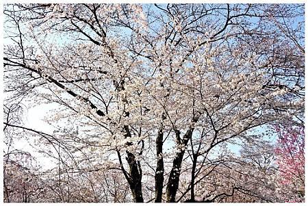 P1430963 平野神社 a (6).jpg
