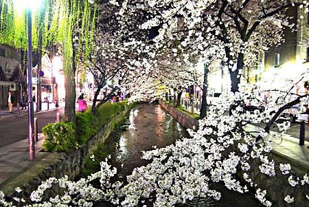 京都~高瀨川夜櫻 (6).jpg