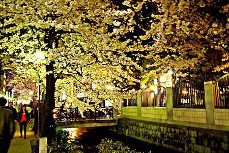 京都~高瀨川夜櫻 (17).jpg