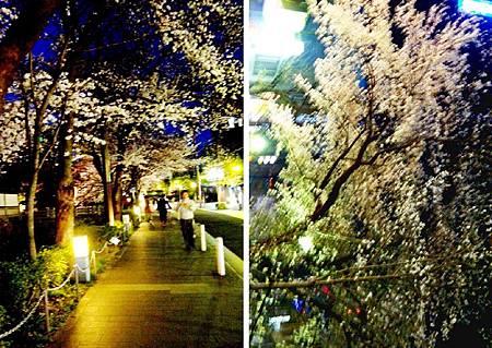 京都~高瀨川夜櫻 (20).jpg