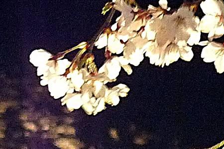 京都~高瀨川夜櫻 (27).jpg