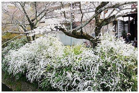 P1440811 雪柳 (9) a.jpg