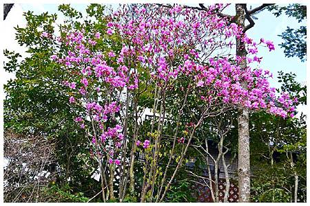 P1440506 紫木蓮 (1).jpg