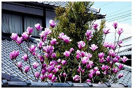 P1440506 紫木蓮 (2).jpg
