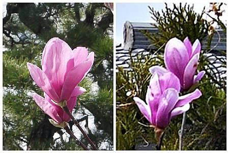 P1440506 紫木蓮 (7.8).jpg