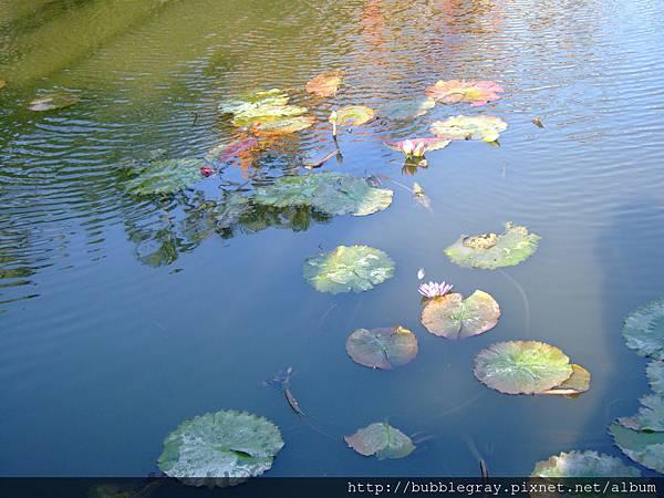 用池裡的光與影對照莫內的畫作 :)