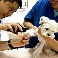 IMG_7737十點十五要先剃毛準備放靜脈留置針 先打了抗生素&鎮靜劑1