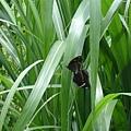 交配的蝴蝶