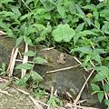 是蟾蜍還是青蛙?