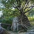 攀在大石頭上的樹