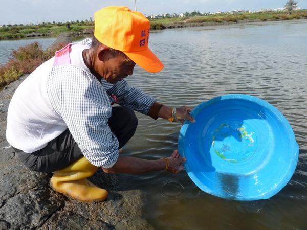 在洲南鹽場海水淨化池放入蝦苗0909.JPG