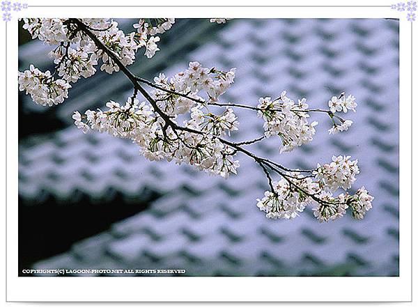 sakura_0005.jpg