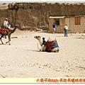 到處都是駱駝