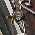 大黃蜂來陽台築巢