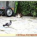 貓:好肥的鴿子