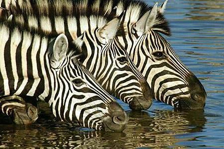 african_safari_Zebra