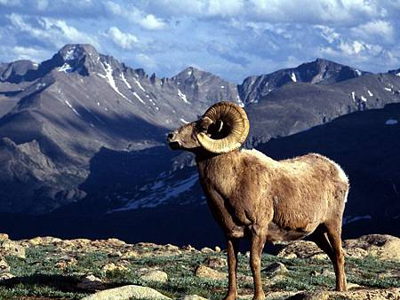 big_horn_ram__rocky_mountain_national_park__colorado_us