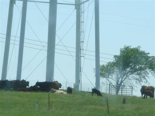 電廠附近好多牛牛喔~~