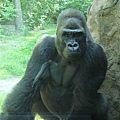 臭臉黑猩猩