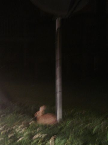 Wild Rabbit.JPG