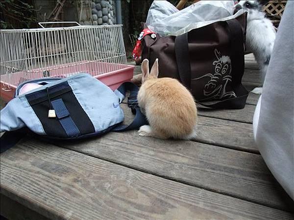 雙面兔栗子屁股