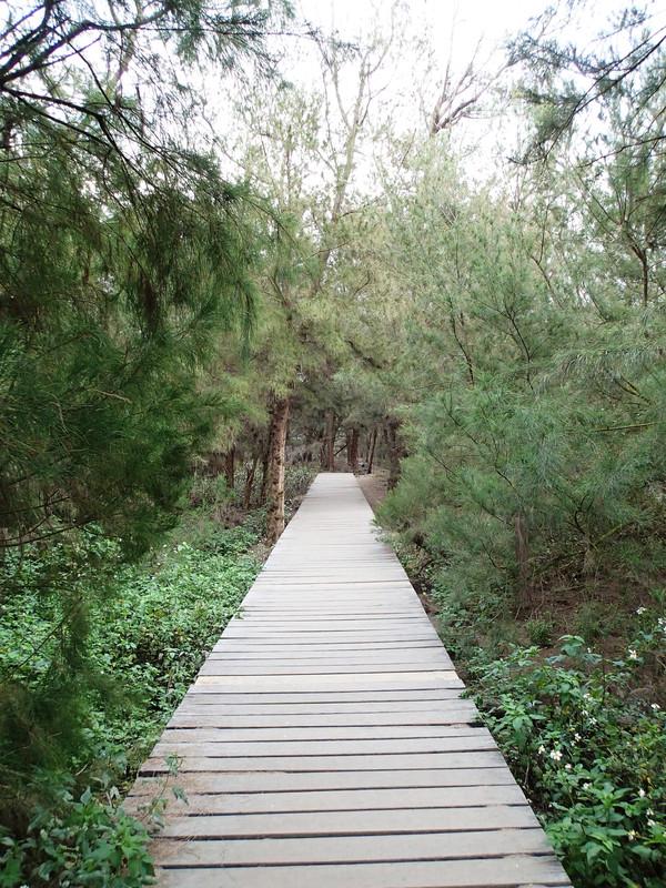 整個沙洲上的森林想當天然還帶點鬼魅的感覺
