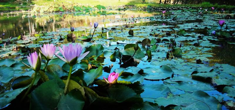 這一池某些部分花有開.拍起來挺美的
