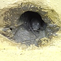仔細看真的有滿一隻小老鼠耶!好逼真喔!