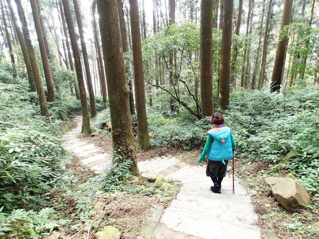 走在杉木林間.真是愜意
