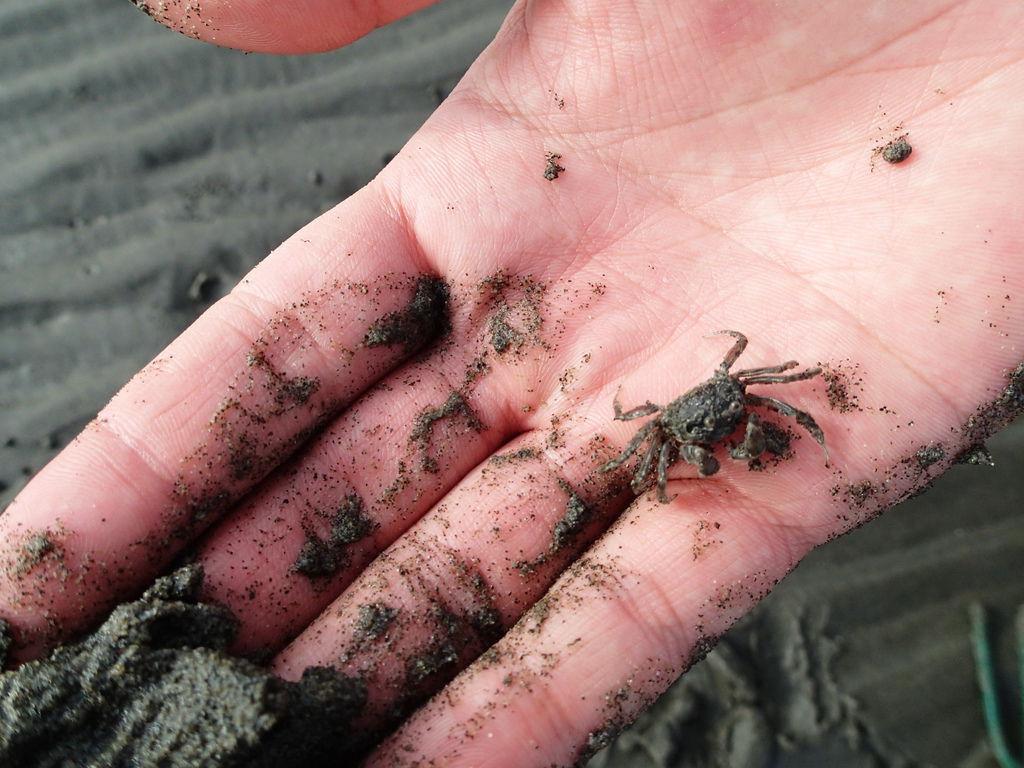 阿呆真的很努力在找小螃蟹