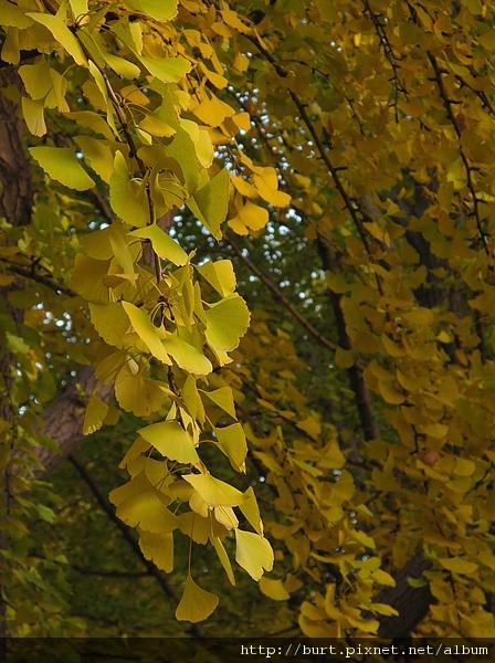 雍和宮的銀杏葉.jpg