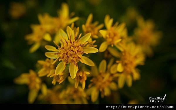 一隻黃花.jpg