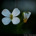 玉山筷子芥的花.jpg