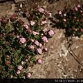玉山繡線菊.jpg