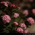 玉山繡線菊2.jpg