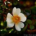 高山薔薇.jpg