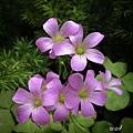 紫花酢醬草.jpg