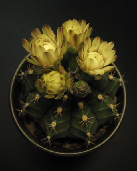 仙人掌花6.jpg