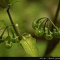 龍葵未成熟的果子.jpg