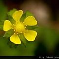 蛇莓03.jpg