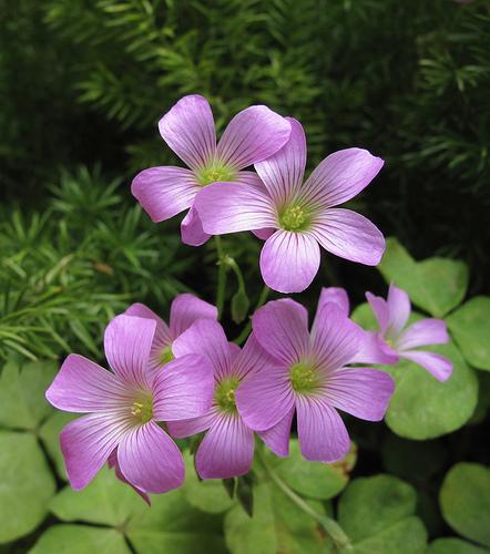 紫花酢醬草1.jpg