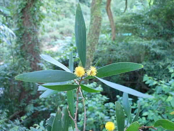 四分尾山森態萬花筒-植物-相思樹