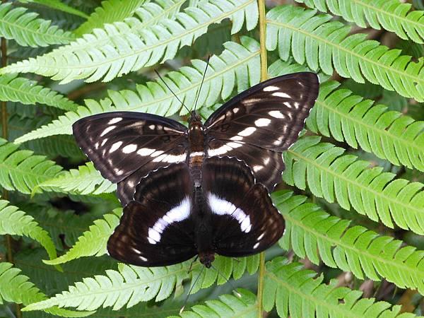 四分尾山森態萬花筒-交尾中的單帶蛺蝶