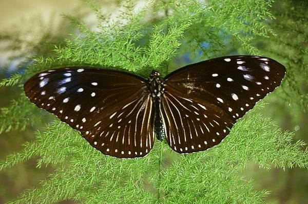 四分尾山森態萬花筒-紫斑蝶